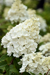 Strawberry Sundae® Hydrangea (Hydrangea paniculata 'Rensun') at North Branch Nursery