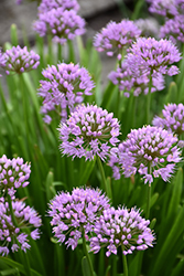 Summer Beauty Ornamental Onion (Allium tanguticum 'Summer Beauty') at North Branch Nursery