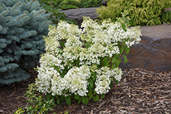 Bobo® Hydrangea (Hydrangea paniculata 'ILVOBO') at North Branch Nursery