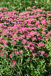 Coral Reef Beebalm (Monarda didyma 'Coral Reef') at North Branch Nursery