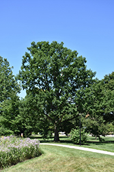 Chinkapin Oak (Quercus muehlenbergii) at North Branch Nursery