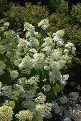 Little Lamb Hydrangea (Hydrangea paniculata 'Little Lamb') at North Branch Nursery