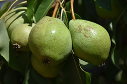 Luscious Pear (Pyrus communis 'Luscious') at North Branch Nursery
