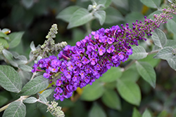 Miss Violet Butterfly Bush (Buddleia 'Miss Violet') at North Branch Nursery