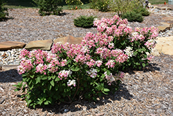 Little Quick Fire® Hydrangea (Hydrangea paniculata 'SMHPLQF') at North Branch Nursery
