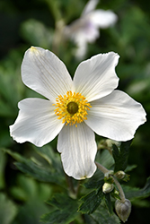 Wild Swan™ Anemone (Anemone 'Macane001') at North Branch Nursery