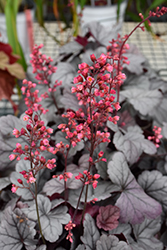 Dolce® Silver Gumdrop Coral Bells (Heuchera 'Silver Gumdrop') at North Branch Nursery