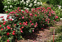 Oso Easy Double Red® Rose (Rosa 'Meipeporia') at North Branch Nursery