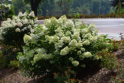 Little Lime® Hydrangea (Hydrangea paniculata 'Jane') at North Branch Nursery
