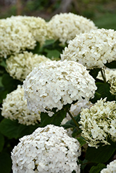 Invincibelle® Wee White Hydrangea (Hydrangea arborescens 'NCHA5') at North Branch Nursery