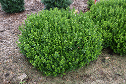 Sprinter® Boxwood (Buxus microphylla 'Bulthouse') at North Branch Nursery