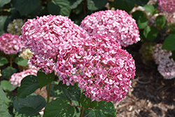 Invincibelle® Spirit II Smooth Hydrangea (Hydrangea arborescens 'NCHA2') at North Branch Nursery