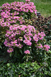 Pardon My Pink Beebalm (Monarda didyma 'Pardon My Pink') at North Branch Nursery