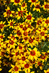 Curry Up Tickseed (Coreopsis verticillata 'Curry Up') at North Branch Nursery
