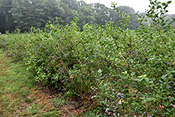 Bluecrop Blueberry (Vaccinium corymbosum 'Bluecrop') at North Branch Nursery