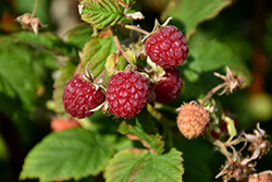 Heritage Raspberry (Rubus 'Heritage') at North Branch Nursery