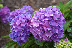 Let's Dance® Rave® Hydrangea (Hydrangea macrophylla 'SMNHMSIGMA') at North Branch Nursery