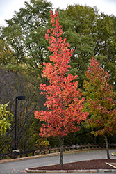 Sweet Gum (Liquidambar styraciflua) at North Branch Nursery