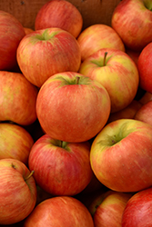 Honeycrisp Apple (Malus 'Honeycrisp') at North Branch Nursery