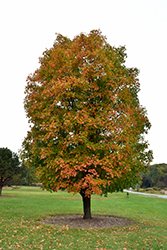 Sugar Maple (Acer saccharum) at North Branch Nursery