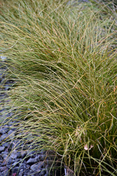 Prairie Fire Sedge (Carex testacea 'Indian Summer') at North Branch Nursery