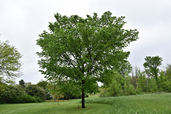 Valley Forge Elm (Ulmus americana 'Valley Forge') at North Branch Nursery