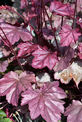 Stainless Steel Coral Bell (Heuchera 'Stainless Steel') at North Branch Nursery