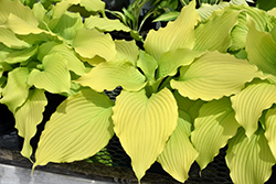 Dancing Queen Hosta (Hosta 'Dancing Queen') at North Branch Nursery