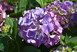 L.A. Dreamin'® Hydrangea (Hydrangea macrophylla 'Lindsey Ann') at North Branch Nursery
