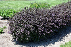 Serious Black™ Ground Clematis (Clematis recta 'Lime Close') at North Branch Nursery