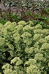 Frosted Fire Stonecrop (Sedum 'Frosted Fire') at North Branch Nursery