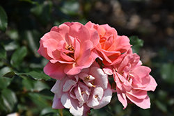 Coral Knock Out® Rose (Rosa 'Coral Knock Out') at North Branch Nursery
