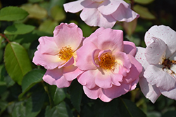 Peachy Knock Out® Rose (Rosa 'Peachy Knock Out') at North Branch Nursery