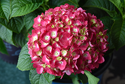 Summer Crush® Hydrangea (Hydrangea macrophylla 'Bailmacfive') at North Branch Nursery