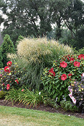 Encore Maiden Grass (Miscanthus sinensis 'Encore') at North Branch Nursery