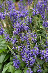 Magic Show® Wizard of Ahhs Speedwell (Veronica 'Wizard of Ahhs') at North Branch Nursery