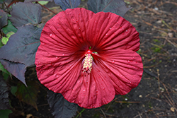 Summerific® Holy Grail Hibiscus (Hibiscus 'Holy Grail') at North Branch Nursery
