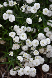 Peter Cottontail Yarrow (Achillea ptarmica 'Peter Cottontail') at North Branch Nursery