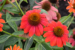 Lakota™ Fire Coneflower (Echinacea 'Lakota Fire') at North Branch Nursery