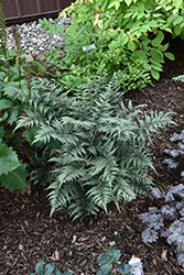 Godzilla Giant Japanese Painted Fern (Athyrium 'Godzilla') at North Branch Nursery