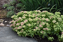 Autumn Delight Stonecrop (Sedum 'Autumn Delight') at North Branch Nursery