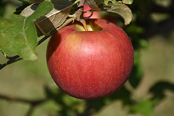 Freedom Apple (Malus 'Freedom') at North Branch Nursery