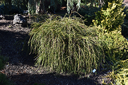 Whipcord Arborvitae (Thuja plicata 'Whipcord') at North Branch Nursery