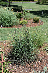 Black Hawks Big Bluestem (Andropogon gerardii 'Blackhawks') at North Branch Nursery