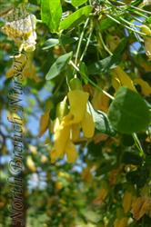 Weeping Peashrub Caragana Arborescens Pendula In