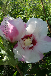 Fiji™ Rose of Sharon (Hibiscus syriacus 'Minspot') at North Branch Nursery