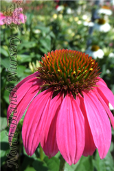 PowWow Wild Berry Coneflower (Echinacea purpurea 'PowWow Wild Berry') at North Branch Nursery