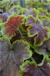 Solar Eclipse Foamy Bells (Heucherella 'Solar Eclipse') at North Branch Nursery