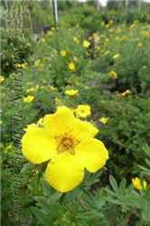 Goldfinger Potentilla (Potentilla fruticosa 'Goldfinger') at North Branch Nursery