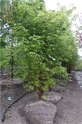 Gingerbread Paperbark Maple (Acer 'Gingerbread (clump)') at North Branch Nursery